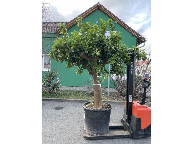 Pomerančovník, původ rostliny Španělsko.200+ cm