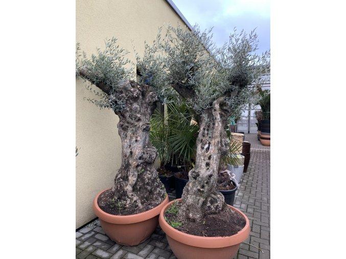Olea europea - Olivovník. Výška 190 cm, obvod kmene 90 cm