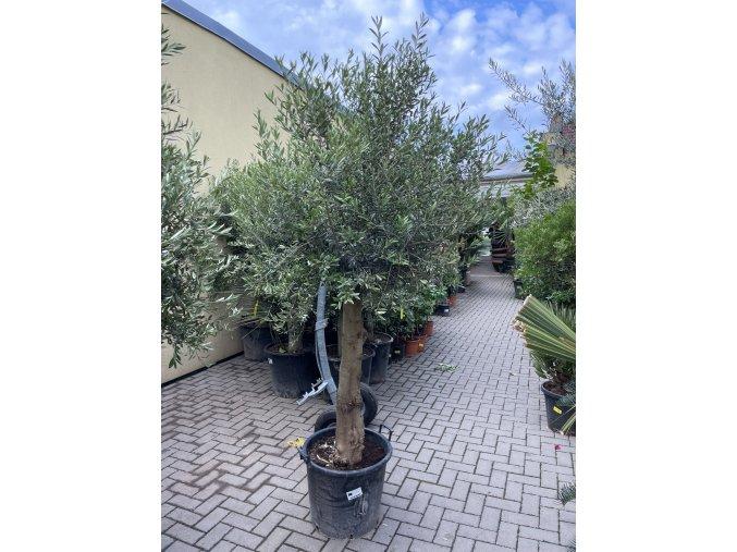 Olea europea - Olivovník 180 cm +