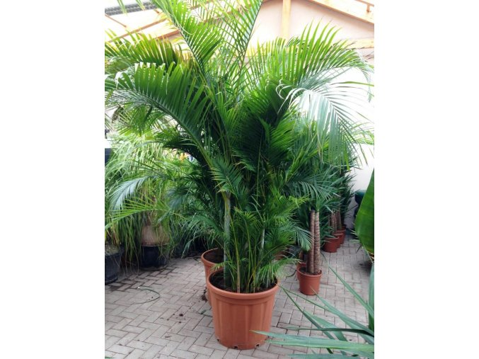 Areca lutescens, chrysalidocarpus, dypsis. 280 cm