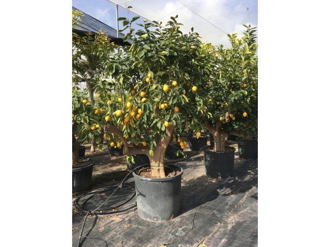 Citrus meyeri, citroník. 200 cm
