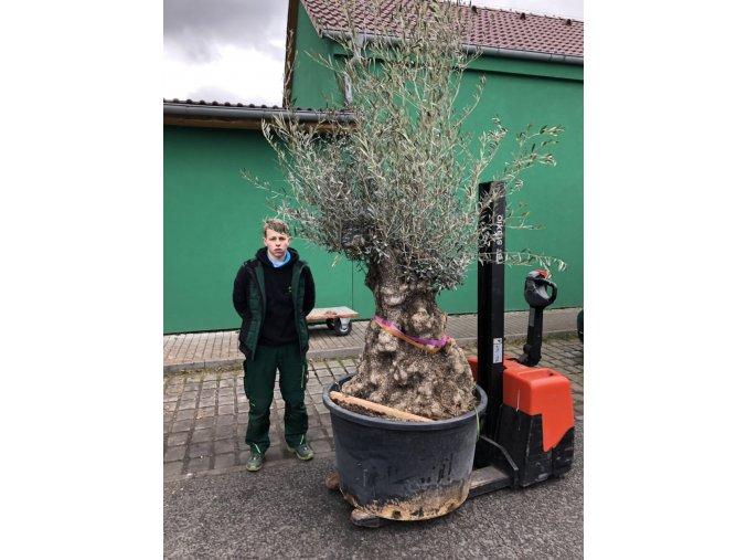 Olea europea , Olivovník. Obvod kmene 180 cm