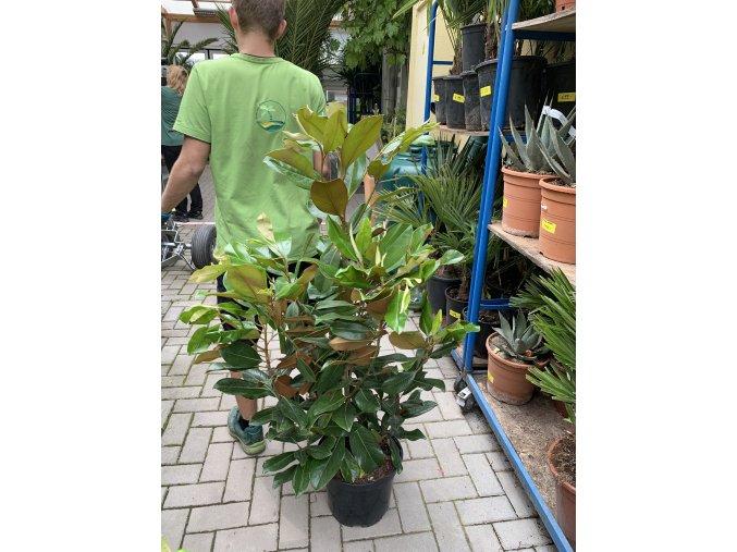 Magnolie grandiflora Gallissoniensis, původ rostliny Španělsko. 150+ cm
