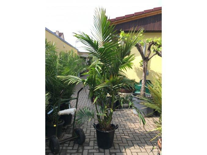 Archontophoenix cunningamiana, palma, původ palmy Španělsko.200 cm