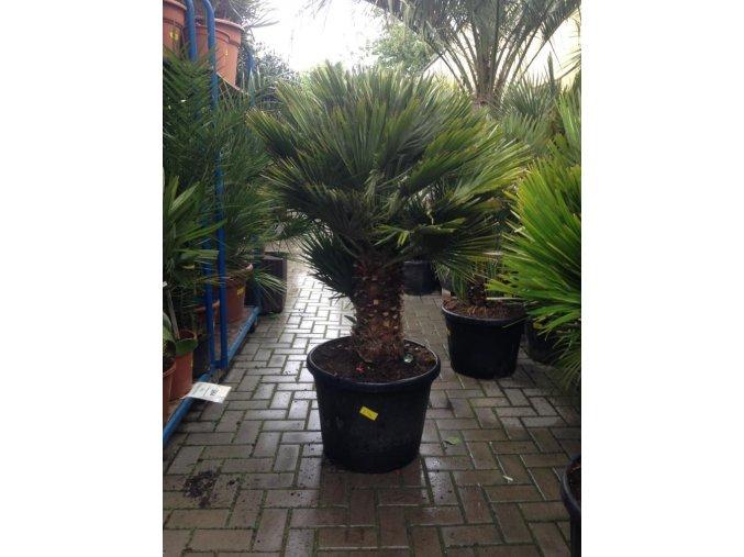 Chamaerops humilis vulcano, palma, původ palmy Španělsko 150cm