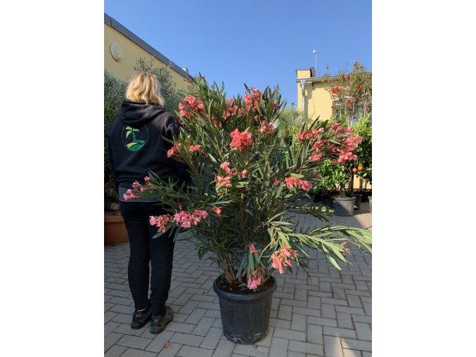 Nerium Oleander - Oleandr, původ rostliny Španělsko. 120+ cm