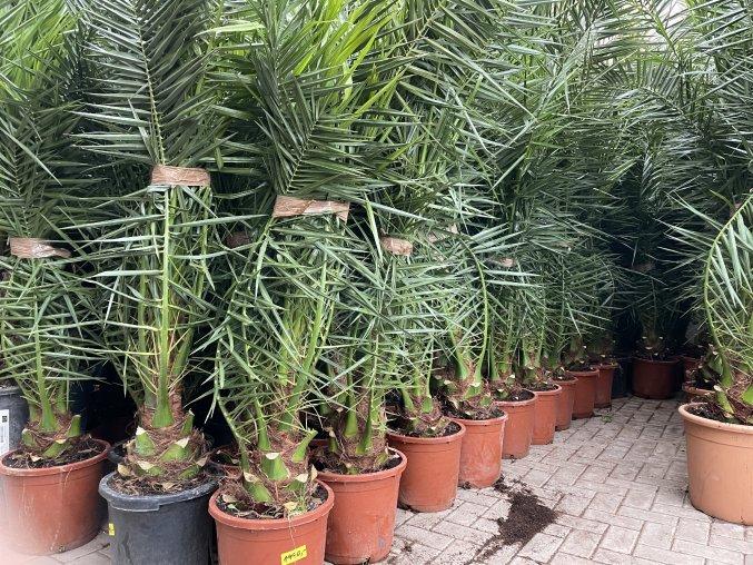 Phoenix canariensis,Datlová palma, Datlovník, 190+ cm