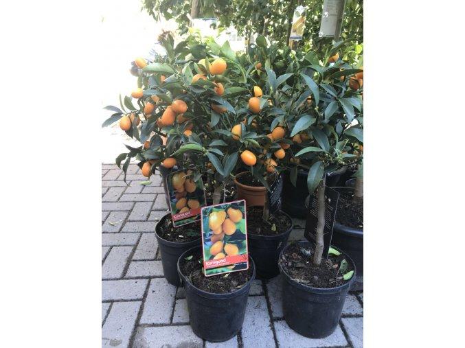 Citrus Kumquat 70 cm