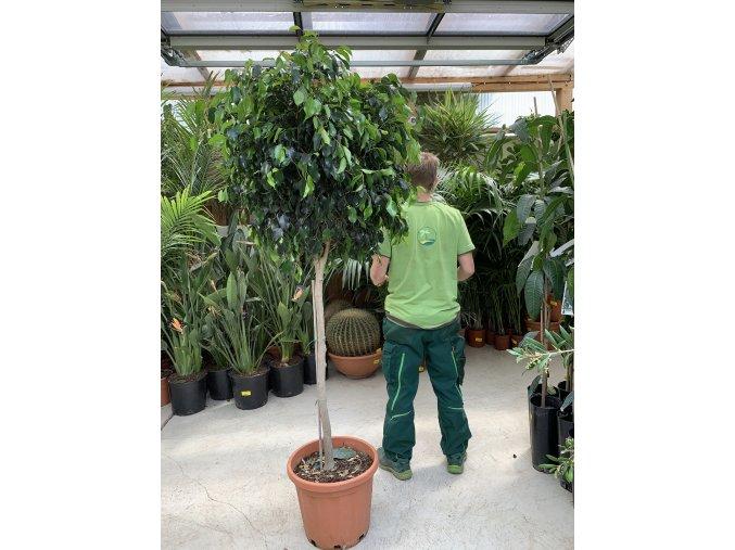 Ficus Benjamina , benjamín, kmínek, původ rostliny Španělsko 170 cm