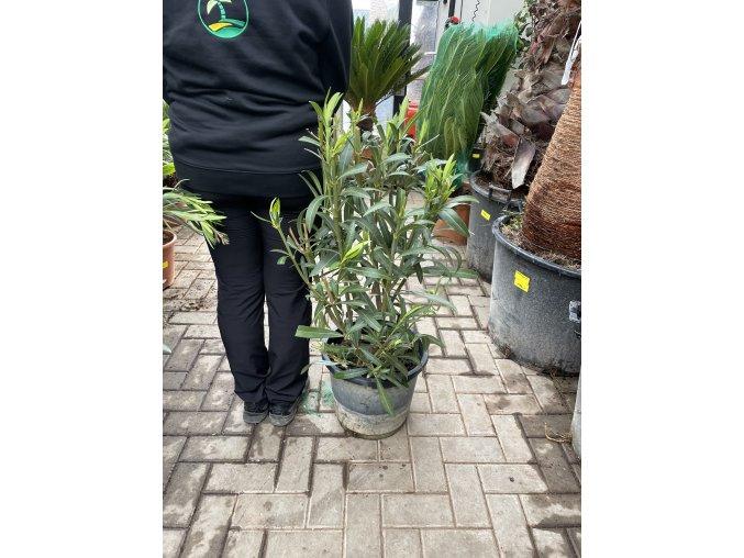 Nerium Oleander - Oleandr, původ rostliny Španělsko. 100+ cm