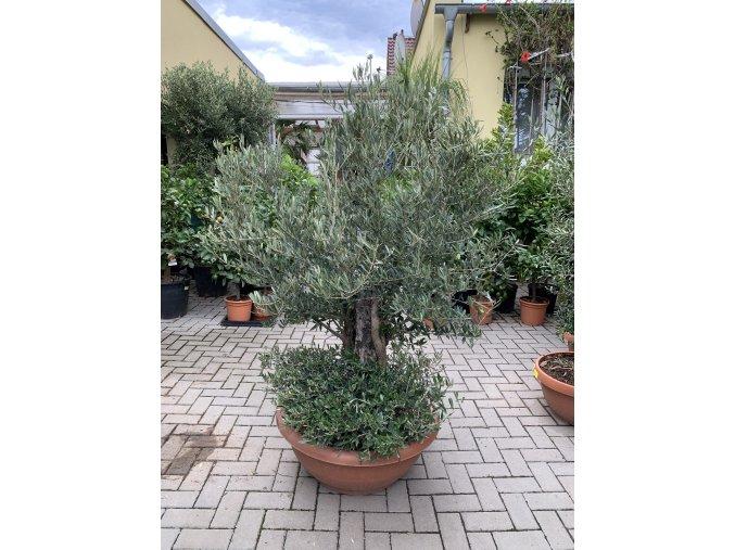 Olea europea - Olivovník 160 cm