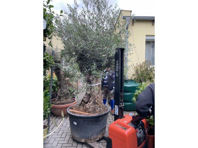 Olea europea - Olivovník výška 300 cm, obvod kmene 110 cm