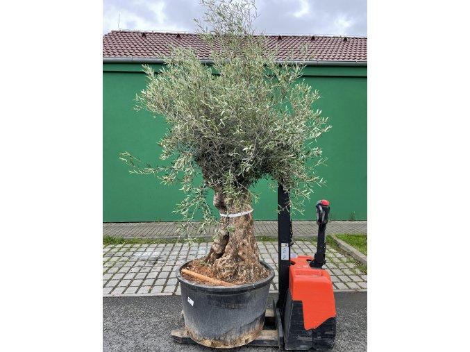 Olea europea - Olivovník výška 250 cm, obvod kmene 110 cm