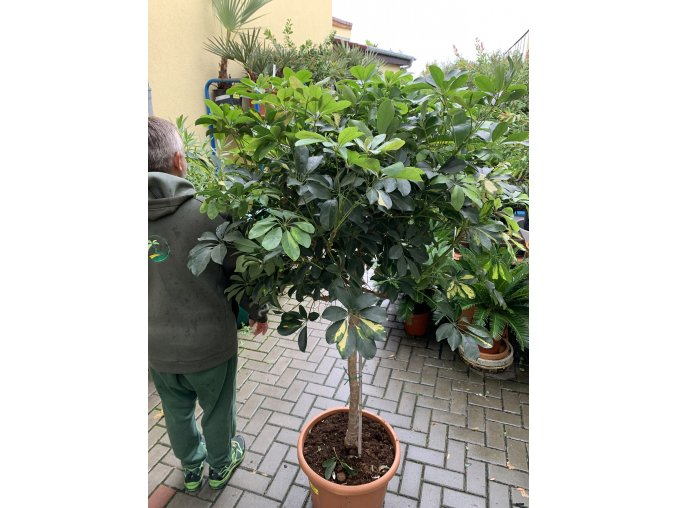 Schefflera 140 cm