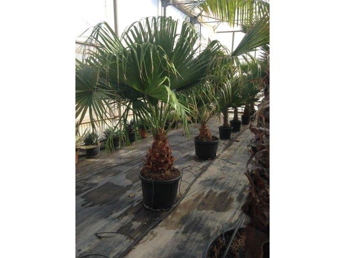 Livistona chinensis, palma, původ palmy Španělsko. 250 cm