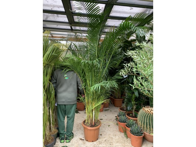 Areca lutescens, chrysalidocarpus, dypsis. 250+ cm
