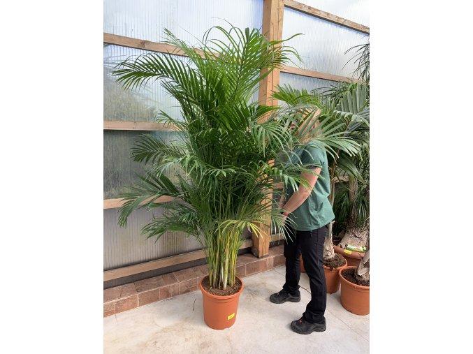 Areca lutescens, chrysalidocarpus, dypsis. 180+ cm