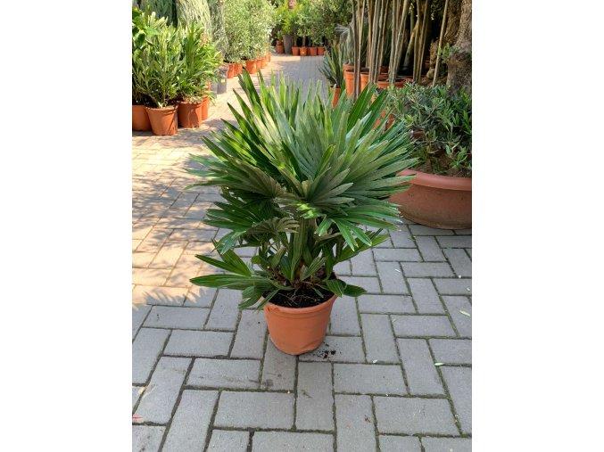 Chamaerops humilis vulcano , palma , původ palmy Španělsko. 70 cm