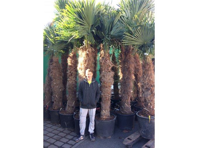 Trachycarpus fortunei, palma, mrazuvzdorná, původ palmy Španělsko. kmen 150 cm+, 220-250 cm