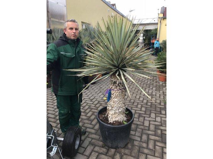 Yucca Rigida, výška rostliny 140 cm, -10°C