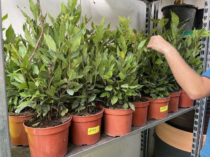 Laurus nobilis , Bobkový list, Vavřín vznešený, keř. 100 cm