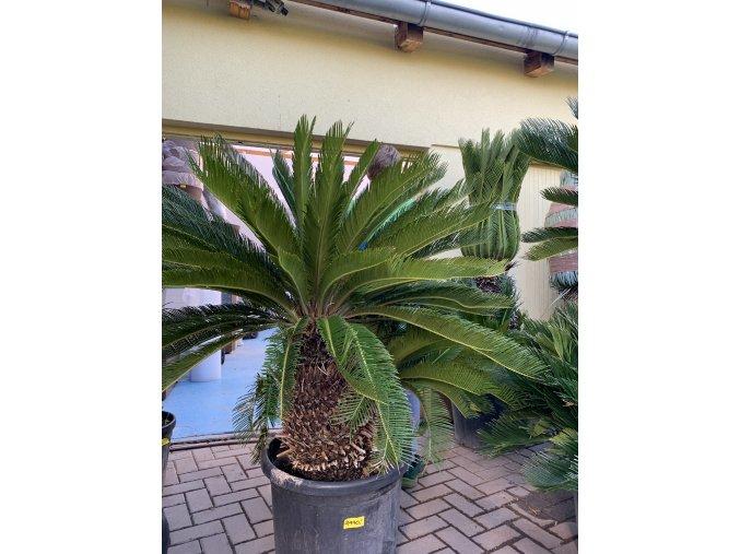 Cycas revoluta, Cykas revoluta, 140 cm