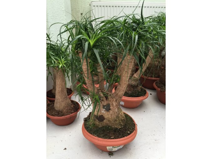 Beaucarnea guatemalensis, sloní noha, původ rostliny Španělsko. 60 cm, rozvětvená.