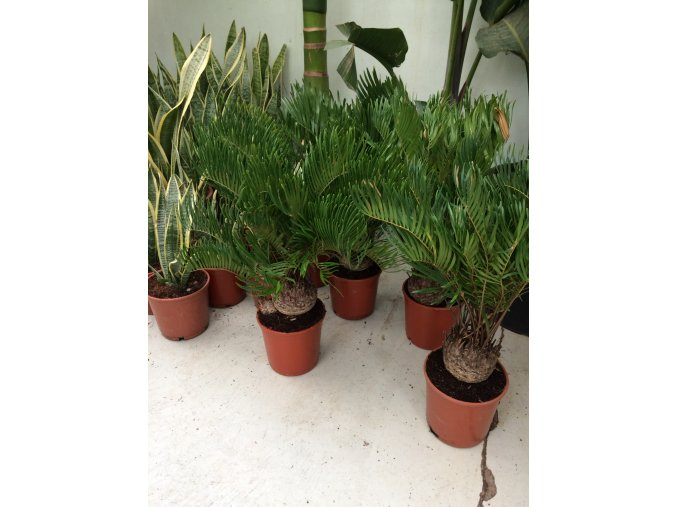 Cycas Floridiana 50 cm