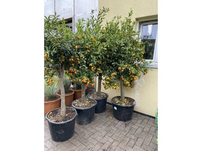 Citrus citrofortunella mitis 170 cm