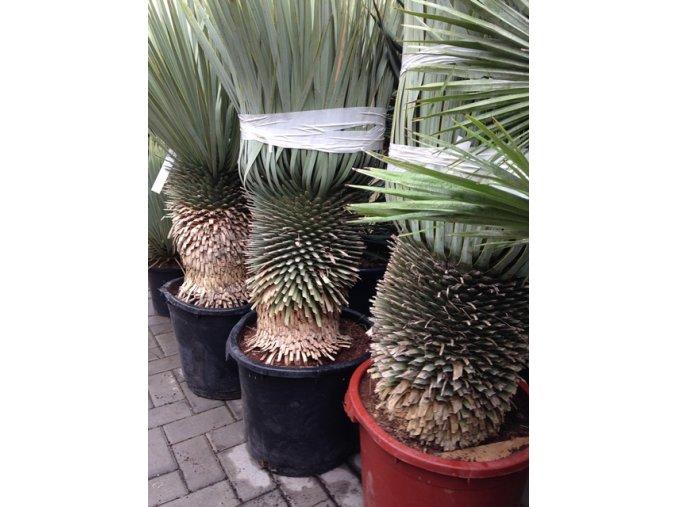 Yucca Rostrata, původ rostliny Španělsko. Výška rostliny 115 cm.