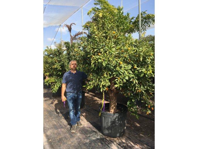 Citrus citrofortunella mitis , strom