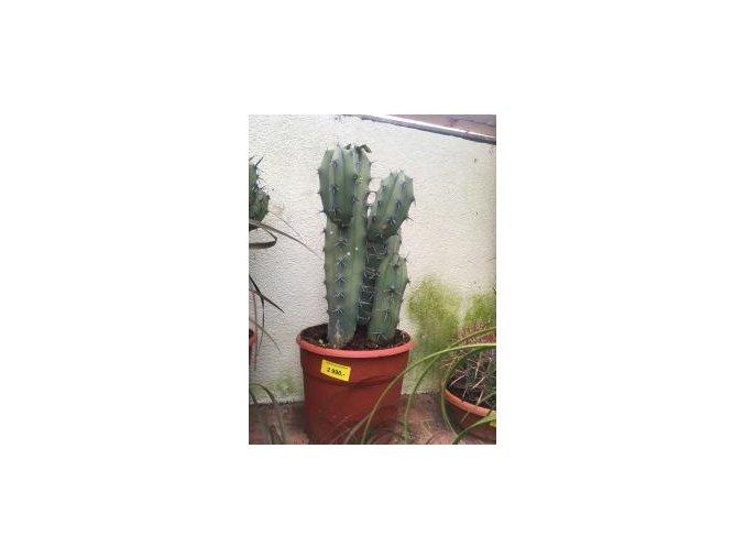 Cactus Myrtillocactus geometrizans