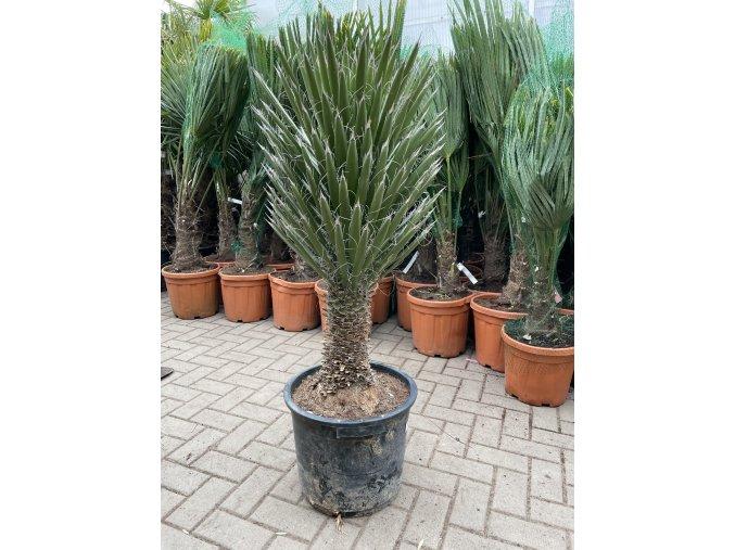 Yucca Filifera, juka, původ Španělsko. max -10C, 100 cm