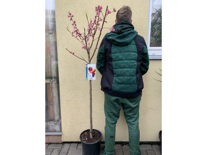 Prunus persica nucipersica, nektarinka, 150 cm.
