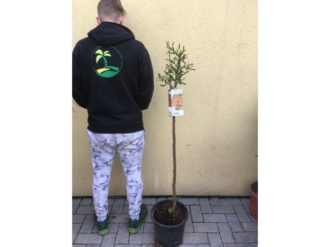 Mandloň obecná, PRUNUS dulcis. 130 cm