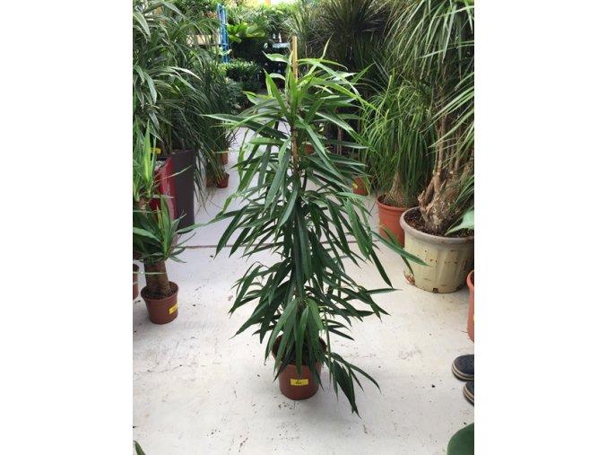 Ficus Amstel King, původ rostliny Španělsko. 130 cm