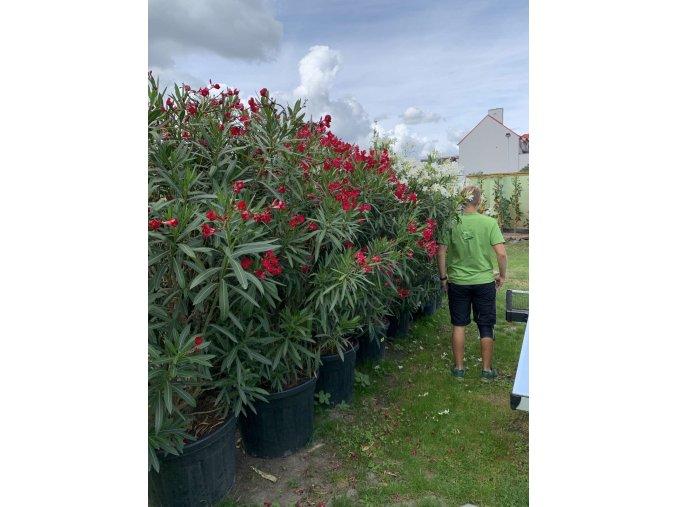Nerium Oleander - Oleandr 190 cm