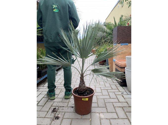 Brahea armata,modrá palma , původ palmy Španělsko. 100 cm