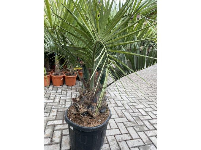 Butia capitata , palma , původ palmy Španělsko 190 cm
