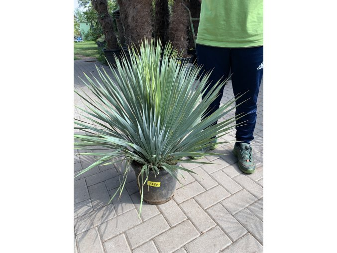 Yucca Rostrata, původ rostliny Španělsko. Výška rostliny 60 cm