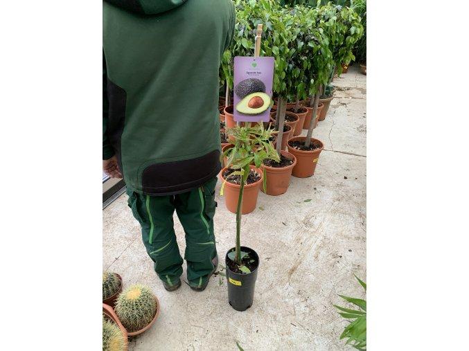 Avocado 110 cm