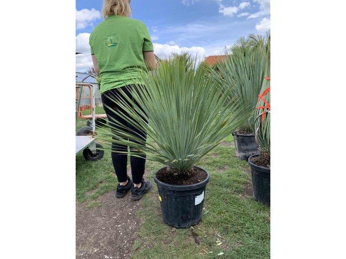 Yucca Rostrata, výška rostliny 80 cm.