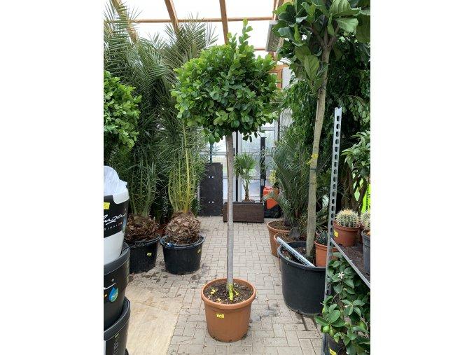 Ficus Benjamina Moclame 240 cm