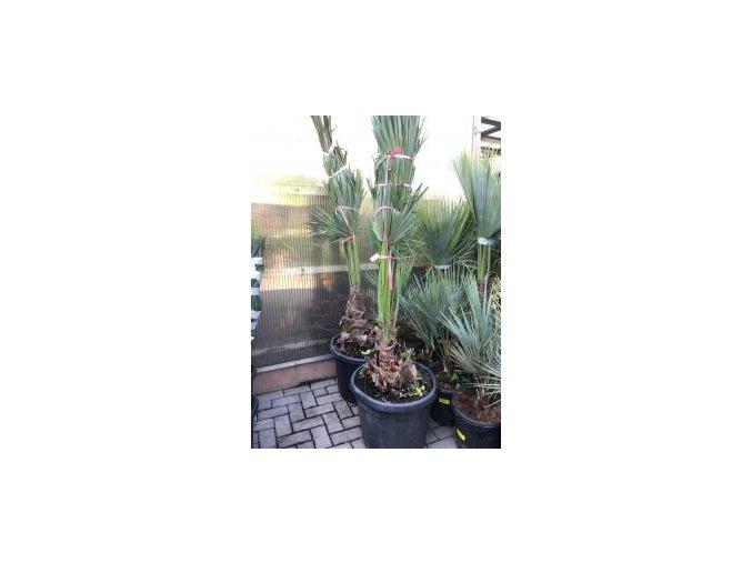 Brahea edulis, Guadalupská palma, původ palmy Španělsko. 180- 200 cm cm