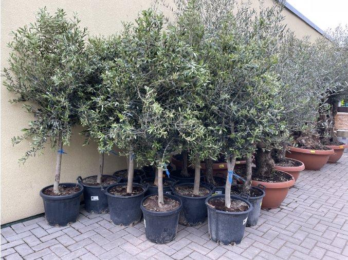 Olea europea - Olivovník 160 cm +