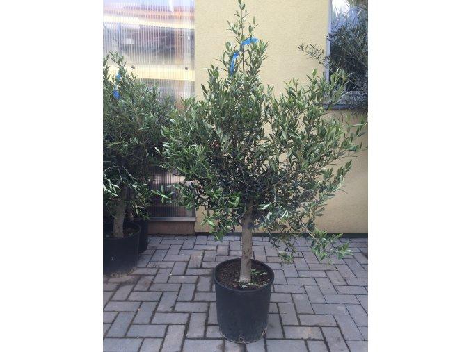 Olea europea , Olivovník. 150-160 cm