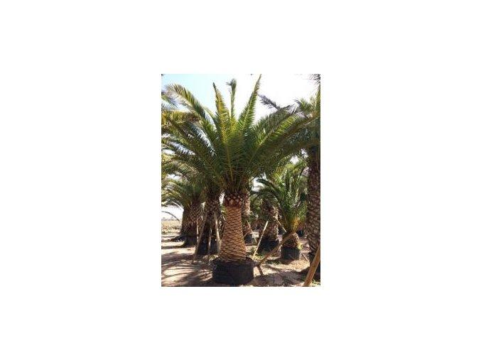 Phoenix canariensis,Datlová palma, Datlovník, původ palmy Španělsko. 500 cm