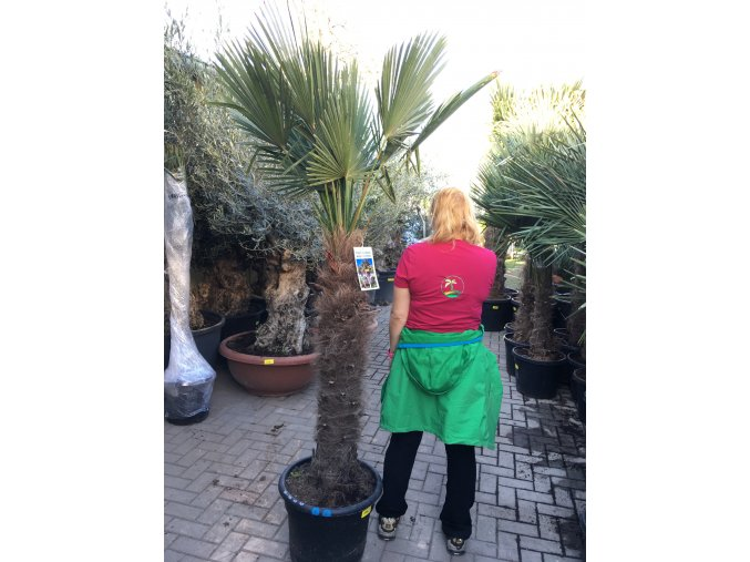 Trachycarpus wagnerianus, Wagnerova palma, 210 cm