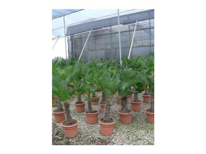 Trachycarpus wagnerianus, Wagnerova palma, 140 cm