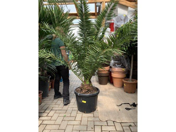 Phoenix canariensis,Datlová palma, Datlovník,  170 cm, jednotná cena pronájmu na 1-7 dní.